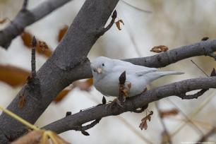 Different from albinism, Leucistic creatures such as this sparrow generally have normal coloured eyes, rather than pink. Ankara, 9 November 2018 [Mustafa Kamacı/Anadolu Agency]