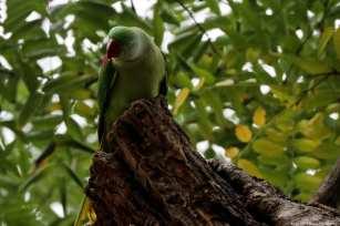 The green Alexandrine parakeet's technical ornithological name is the 'psittacula eupatria' Istanbul, 20 November 2018 [Berk Özkan/Anadolu Agency]