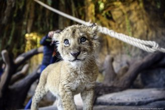 A 2 month old lion cub is seen at the Lion Park of Tuzla Viaport Marina in Istanbul, Turkey on 6 November 2018 [Serhat Çağdaş/Anadolu Agency]