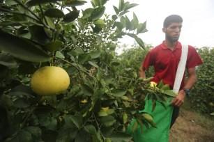 Fruit farmers in Gaza, November, 2018 [Mohammed Asad/Middle East Monitor]