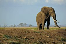 A picture taken on October 14, 2013 shows an elephant in Mikumi National Park, which borders the Selous Game Reserve, Tanzania. (Photo by Daniel Hayduk/AFP/Getty Images)