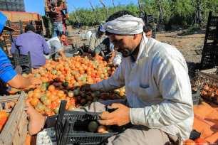 Tomato harvest in Egypt on 3 January 2019 [Ahmed Al Sayed/Anadolu Agency]