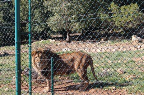 Lions, tigers and bears can be seen in Jordan in January 2019 [Laith Joneidi/Anadolu Agency]