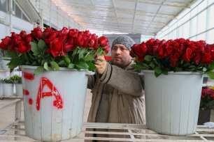 A flower plantation prepares for Valentine's Day in Izmir, Turkey on 30 January 2019 [Emin Mengüarslan/Anadolu Agency]