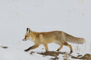 A fox, looking for food due to the tough winter conditions, is seen near a settlement in Turkey on 30 January 2019 [İhsan Öztürk/Anadolu Agency]