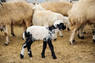 A baby lamb tries to find her mother sheep for feeding at a barn in Elazig, Turkey on 14 March 2019. Everyday both in morning and evening, mother sheep meet with lambs for feeding. [Ömer Yasin Ergin/Anadolu Agency]