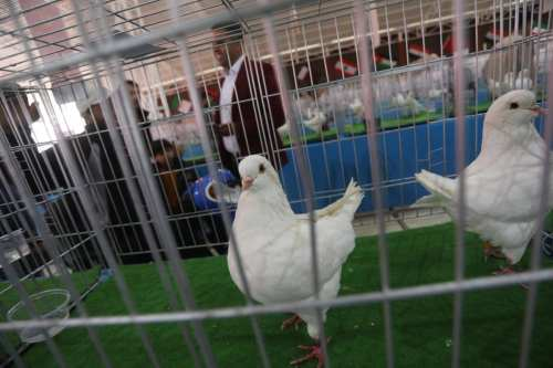 The Pigeon Keepers in Palestine Association hosts the annual bird exhibition in Gaza City on 25 April 2019 [Mohammed Asad/Middle East Monitor]