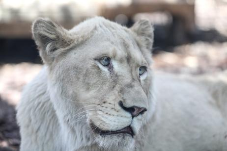 White lions are seen at the Lion Park of Tuzla Viaport Marina in Istanbul, Turkey on 30 May 2019 [Şebnem Coşkun/Anadolu Agency]