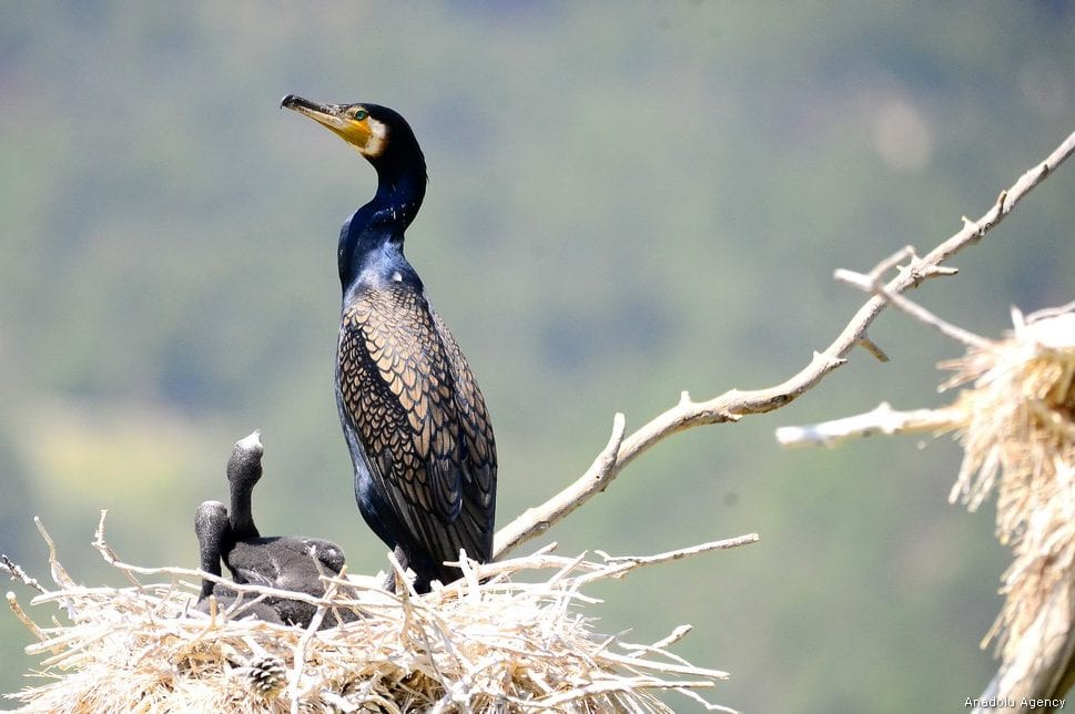 Black cormorants are seen at their nests around Adiguzel Dam located in Ulugbey district of Usak province, Turkey on 9 May, 2019 [Soner Kılınç/Anadolu Agency]