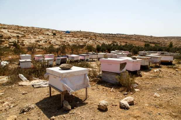 90 beehives are harvest twice a year by the women and girls of Susiya to help provide income