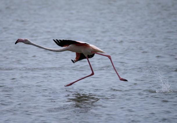 Flamingo in Izmir, Turkey [Mahmut Serdar Alakuş/Anadolu Agency]