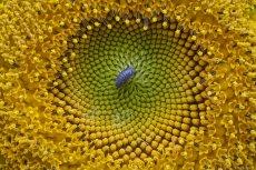 Close-up of a woodlouse on a yellow sunflower in Van, Turkey on 29 July, 2019 [Özkan Bilgin/Anadolu Agency]