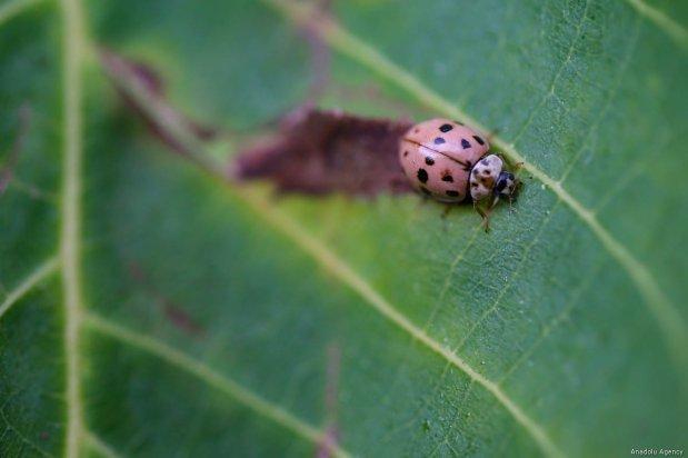 Close-up of a ladybug on a leaf in Van, Turkey on 29 July, 2019 [Özkan Bilgin/Anadolu Agency]