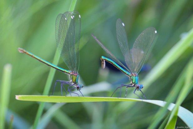 Close-up of dragonflies sitting on a plant in Van, Turkey on 29 July, 2019 [Özkan Bilgin/Anadolu Agency]