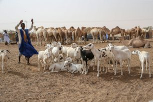 Stockbreeders are seen near sacrificial animals which were waited to be sold at Marbat Livestock Market after their value increased due to drought and exportation with Senegal and Mali during Eid al-Adha in Nouakchott, Mauritania on 12 August, 2019 [Özkan Bilgin/Anadolu Agency]