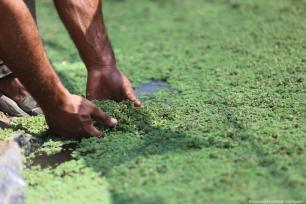 A Palestinian farmer in Gaza has successfully created Azolla ferns which enables him to feed his animals without paying the high prices for imported fodder [Mohammed Asad/Middle East Monito]