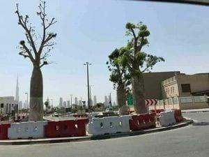 Dragon's Blood (Dracaena cinnabari) trees, native only to Yemen's Socotra island, being displayed in Abu Dhabi, UAE.