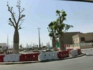 Dragon's Blood (Dracaena cinnabari) trees, native only to Yemen's Socotra island, being displayed in Abu Dhabi, UAE.