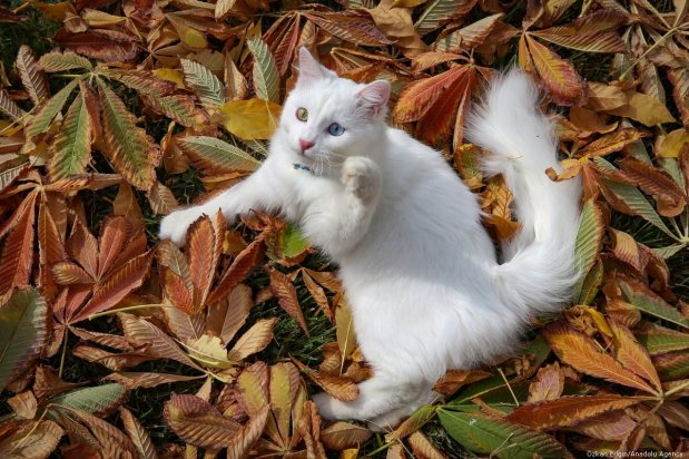 A van cat is seen at a Cat Research and Application Center, in Van province of Turkey on 22 October 2019 [Özkan Bilgin/Anadolu Agency]
