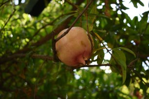 A pomegranate lays nestled in the branches of the tree, oblivious to the troubles of its region, in the garden of the old Kasbah (castle) in the port city of Tangier, Morocco