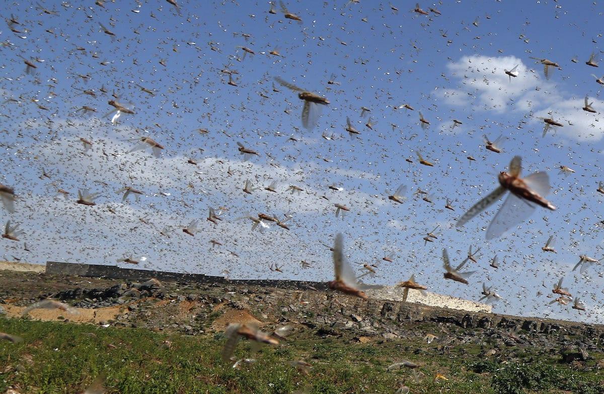 Locusts in Dhamar, Yemen on 7 June 2020 [Mohammed Hamoud/Anadolu Agency]