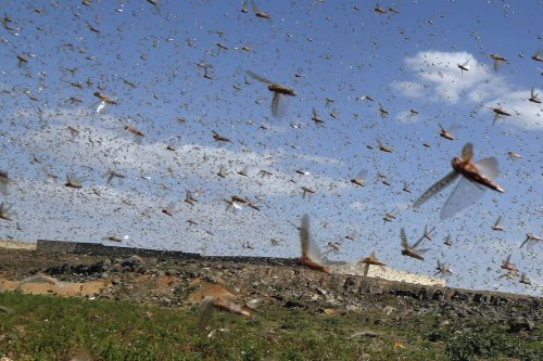 Locusts in Dhamar, Yemen on 7 June 2020 [Mohammed Hamoud/Anadolu Agency]