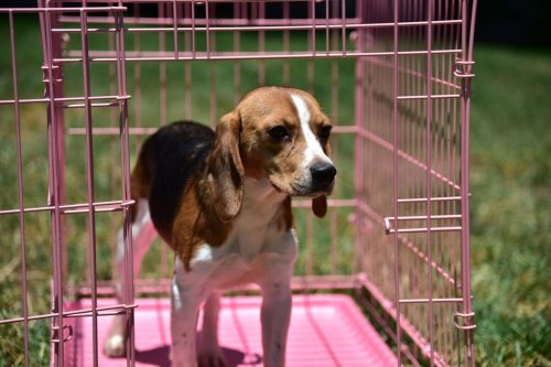 A former laboratory research beagle hesitates before stepping out of his cage to walk on grass for the first time, at a residential home in Los Angeles, California, June 24, 2016 [ROBYN BECK/AFP via Getty Images]