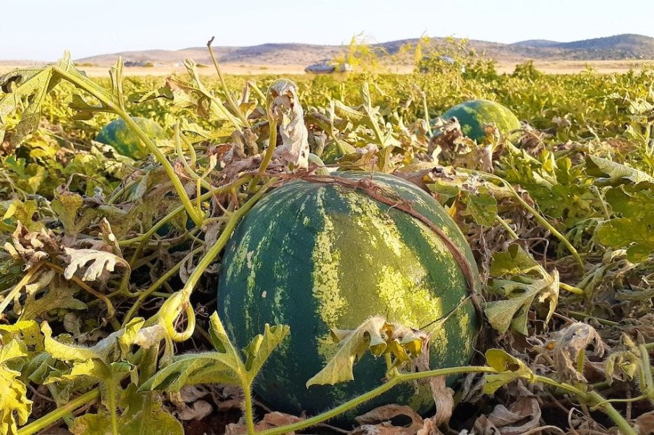 Watermelon [Fareed Taamallah]