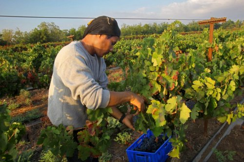 A Thai agricultural worker harvests grapes at a vineyard for Momo Shmilovich's Neve Yarak Winery, Israel on August 22, 2018 [David Silverman/Getty Images]