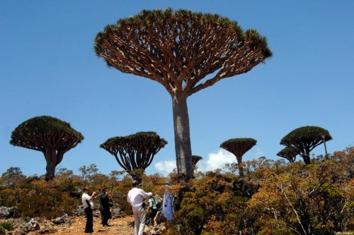 Yemeni and foreign tourists gather to admire an example of the Dragon Blood tree on the virtually untouched Yemeni Island of Socotra [KHALED FAZAA/AFP via Getty Images]