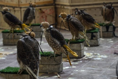 Falcons that were recovered from illegal captivity are kept in a room during a press briefing with customs authorities in Karachi on October 17, 2020 [RIZWAN TABASSUM/AFP via Getty Images]