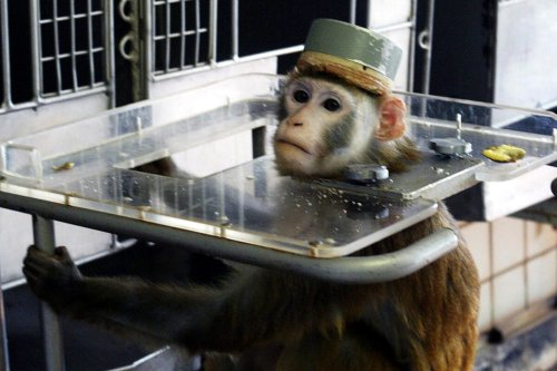 MOSCOW, RUSSIA - APRIL 15: A monkey wearing a metal cap to cover the electrodes in its head is held in metal braces during testing at the Medical and Biological Problems Laboratory on April 15, 2003 in outside Moscow, Russia. Russian scientists at the country's top space medicine centre use animals to test the health effects of life in space. (Photo by Dmitry Korotayev/Epsilon/Getty Images)