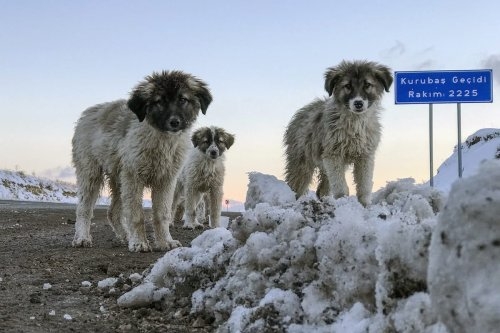 Four puppies are seen in snow as they being rescued from freezing by municipal workers at Kurubas Pass at an altitude of 2 thousand 225 meters, in Van province of Turkey on 11 December 2020. [Özkan Bilgin - Anadolu Agency]