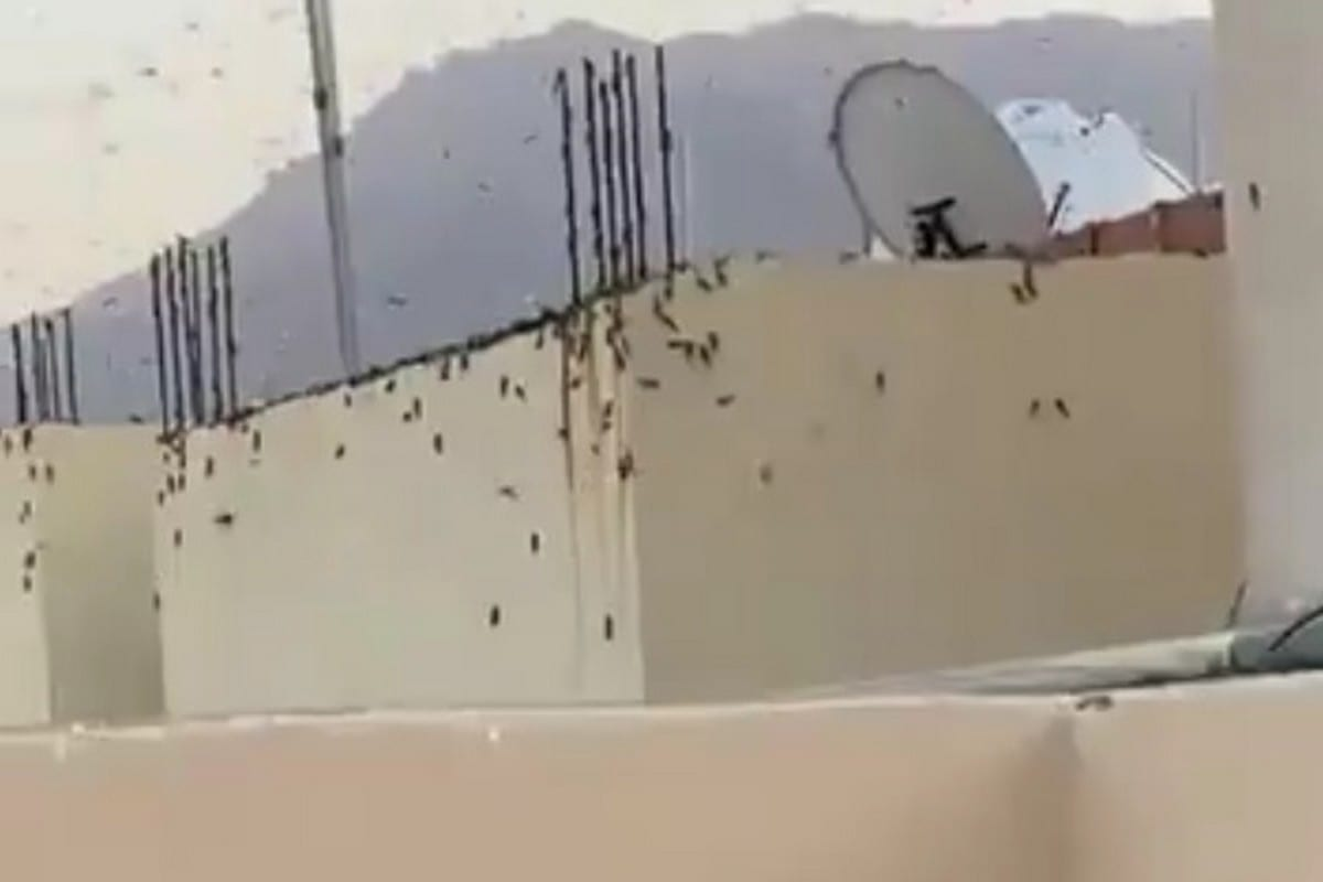 a swarm of locusts in the holy city of Makkah