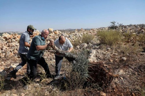 Palestinians try to return an olive tree to its place after an Israeli bulldozer pulled it out, in a field in the West Bank city of Salfit, near the Israeli settlement of Ariel, on 26 October 2020. [JAAFAR ASHTIYEH/AFP via Getty Images]