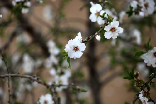 Almond flowers are seen bloom at a field in Gaza on 13 February 2021 [Ashraf Amra/ApaImages]