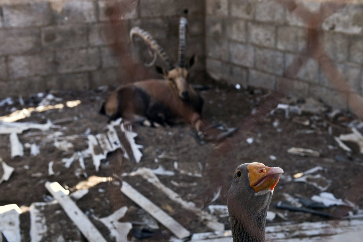 A goose peeks as an antelope sits in their cage at the Bisan City tourist village zoo, in Beit Hanun on August 14, 2014 [ROBERTO SCHMIDT/AFP via Getty Images]