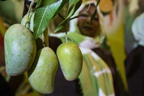 Mango producers exhibit more than 30 types of mango during the 25th Mango Festival in Khartoum, Sudan on July 03, 2021 [Mahmoud Hjaj/Anadolu Agency]