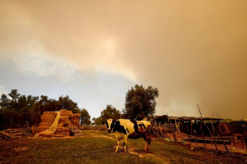 Smoke rises behind a cattle after a fire broke out in a forest in Manavgat district and reached Dolbazlar neighbourhood in Antalya, Turkey on 29 July 2021. [Mustafa Çiftçi - Anadolu Agency]