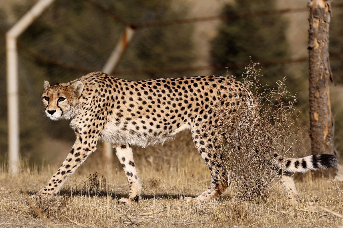 A female Asiatic Cheetah in Tehran on 10 October 2017 [ATTA KENARE/AFP/Getty Images]