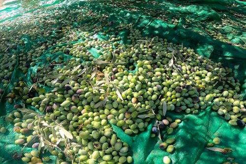 Thumbnail - Gaza looking for imports as olive harvest slumps