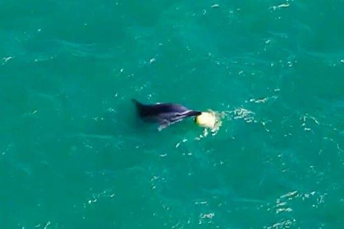 Thumbnail - Dolphin toys with buoy off Turkey coast