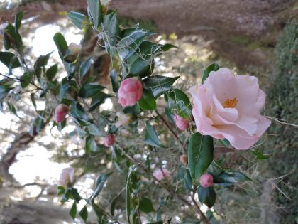 Camellias at Middleton Place – A Lesson in Endurance