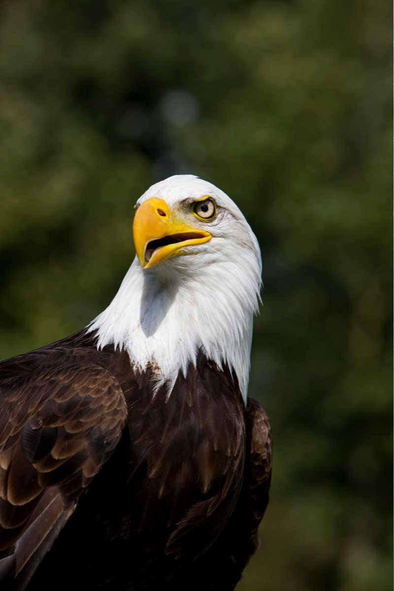 Decorah Iowa Bald Eagle