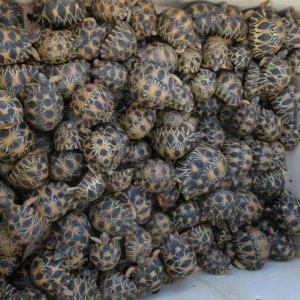 Les tentatives d'exportations illicites de tortues se poursuivent à Ivato.