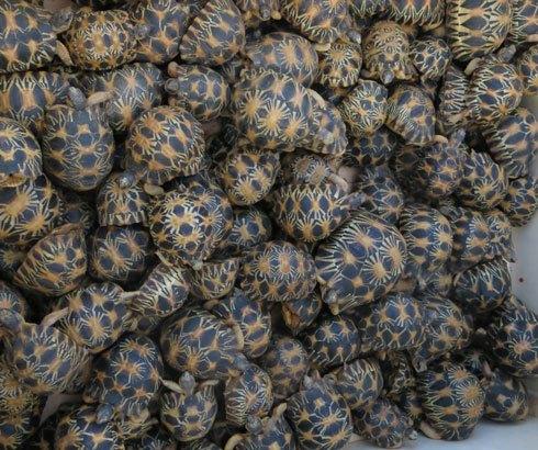 Trafic illicite : 771 tortues saisies à l'aéroport d'Ivato