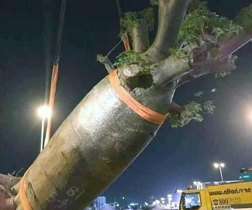 Dubaï : Des Baobabs de Madagascar exportés et plantés illicitement