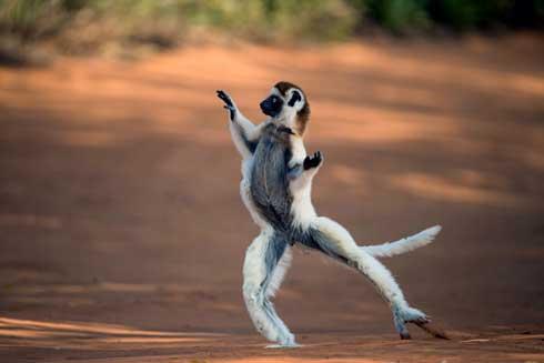Lémuriens de Madagascar : 33 espèces sur 107 au bord de l'extinction