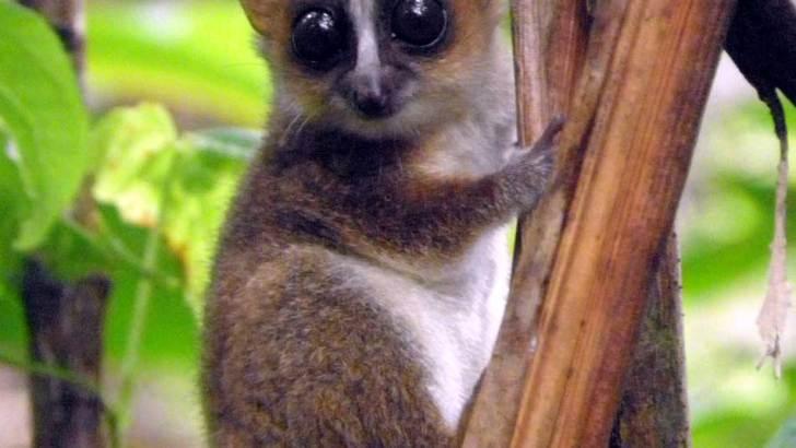 Nouvelle espèce de lémurien :Découverte du Microcebus Johani