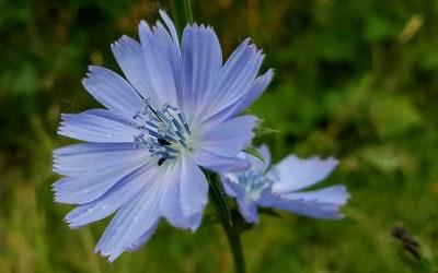 En voyage vers soi avec les fleurs de Bach